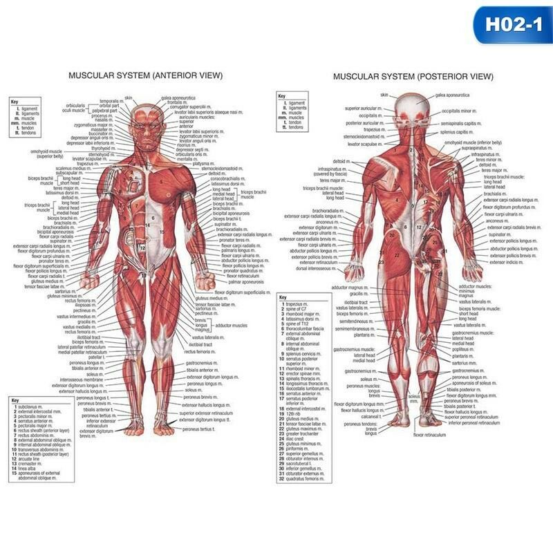 Human Body Muscle Anatomy System Poster Anatomical Chart Educational Poster #LF 9