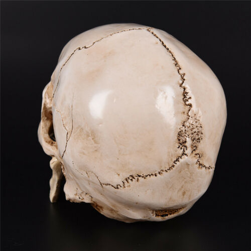 Human Skull white Replica Resin Model Medical Lifesize Realistic NEW 1:1 A DFI 5
