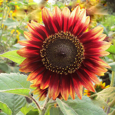 15  x  RED SUN SUNFLOWER Helianthus Annuus Seeds Multiple Blooms  Branches W5G0