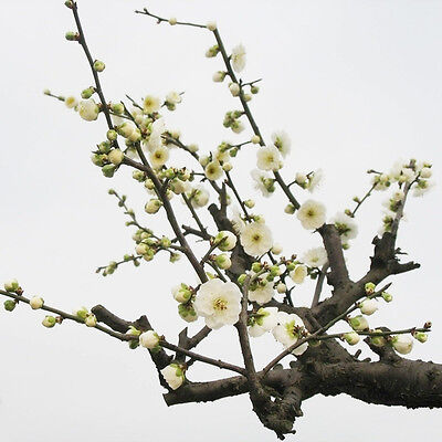 10PCS White Plum Bonsai Seeds Blossom in Winter Home Garden Plum Bonsai Hot 5