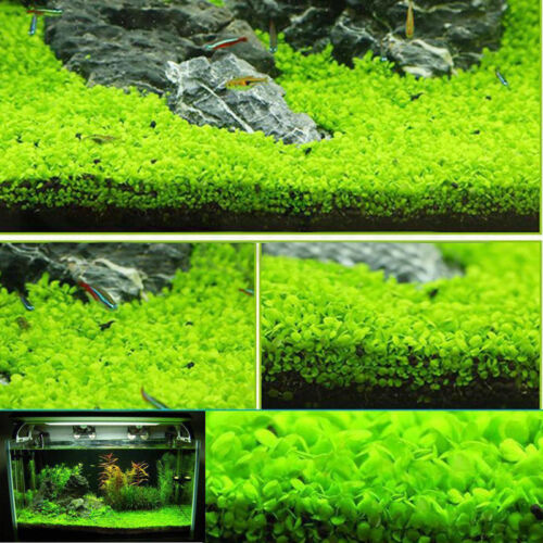 Fish Tank Aquarium Plant Decor Seed Cute Aquatic Double Leaf Water Plants Seeds