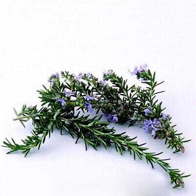 400pcs Rosemary Seeds (Rosmarinus officinalis)  Heirloom Herb Seed Gardern Decor 4