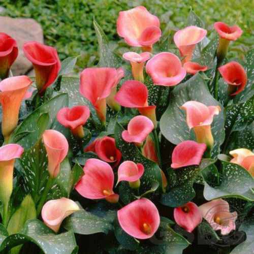 2Pc Bulbs True Calla Lily Bulbs Calla Bulbs Not Calla Lily Seeds-Flower Root 3