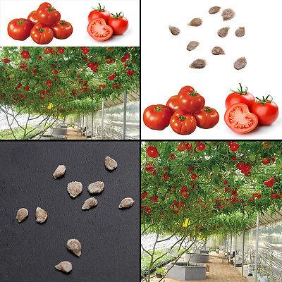 GIGANTE del tomate * ÁRBOL * * 10 semillas semillas de tomate fresco 8