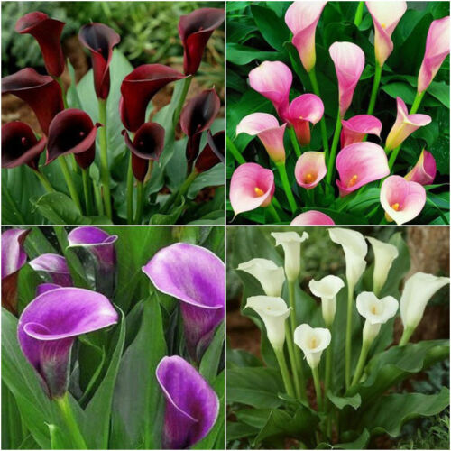 2Pc Bulbs True Calla Lily Bulbs Calla Bulbs Not Calla Lily Seeds-Flower Root 5