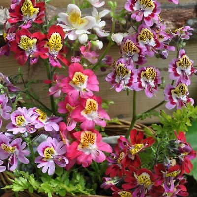 ANGEL WINGS MIX - 1600 SEEDS - Schizanthus wisetonensis - ANNUAL FLOWER 3