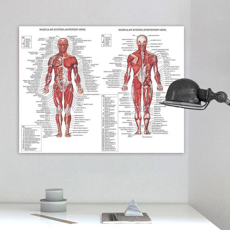 Human Body Muscle Anatomy System Poster Anatomical Chart Educational Poster #LF 3