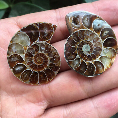1 Pair Half Cut Natural Ammonite Shell Jurrassic Specimen Madagascar