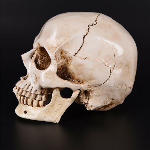 Human Skull white Replica Resin Model Medical Lifesize Realistic NEW 1:1 A DFI 3