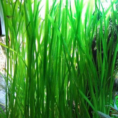 6 Vallisneria Jungle Val  plants Fresh Live Aquarium Plants BUY2GET1FREE 2
