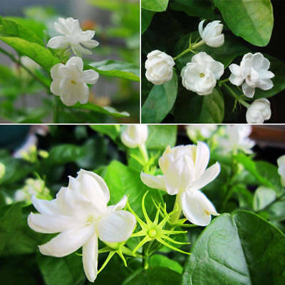 20pcs Cape Jasmine Jasminiodes White Shrub Aromatic Flower Seeds Plant New 7