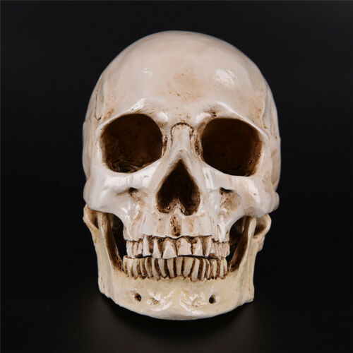 Human Skull white Replica Resin Model Medical Lifesize Realistic NEW 1:1 A DFI 4