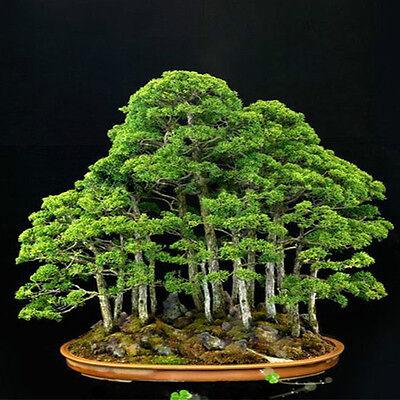 60X Bonsai Japanese White Pine Samen Pinus Parviflora Grünpflanzen-~ 2