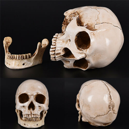 Human Skull white Replica Resin Model Medical Lifesize Realistic NEW 1:1 A DFI 2