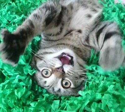 Tissue Paper Grass Mat for cat or kitten toy UK FAST DELIVERY pet toys. 6