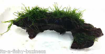 Flame Moss Taxiphyllum sp on small Bogwood Tropical Aquatic Aquarium liveco2