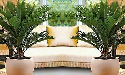 Lot 2 ou 4 Palmiers CYCAS KING SAGO hauteur à la livraison 50 - 60 cm 2