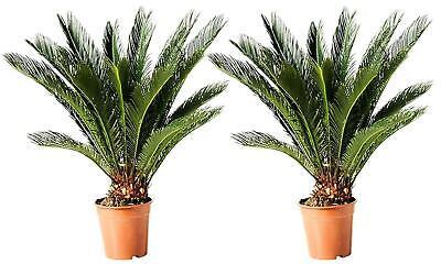 Lot 2 ou 4 Palmiers CYCAS KING SAGO hauteur à la livraison 50 - 60 cm 3