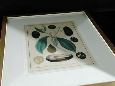 Handkolorierter Kupferstich. Um 1850 Nectandra Puchury major Nees et Mart. 6