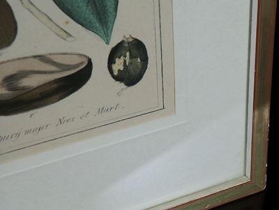 Handkolorierter Kupferstich. Um 1850 Nectandra Puchury major Nees et Mart. 2