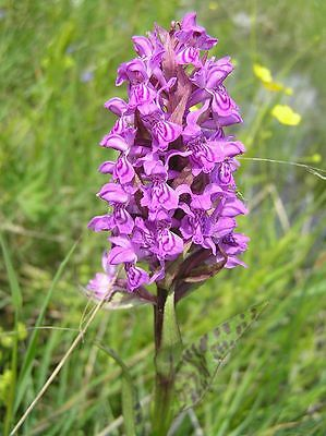 Knolle gartenorchidee dd Dactylorhiza maculata Heath Spotted-Orchid Orchis