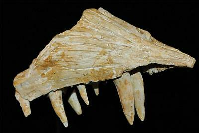 Enchodus Lybicus Fossil Jaw Snout With Tooth From Morocco On Stand #en3 6