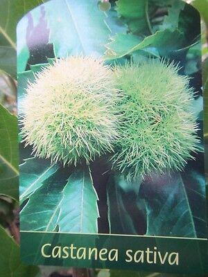 Marone Esskastanienbaum Castanea sativa Winterharte Pflanze 140-160cm