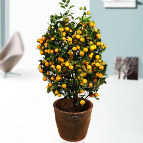 Best-Selling!100pcs//bag Balcony Patio Potted Fruit Trees Planted Seeds Kumquat Seeds Orange Seeds Tangerine Citrus
