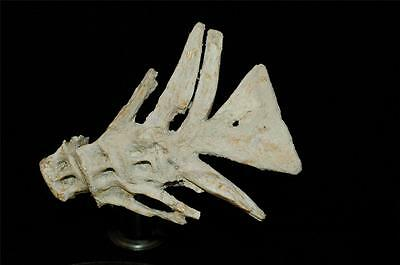 Unidentified Fish Tail Fossil Bone From Morocco On Stand #f6 4
