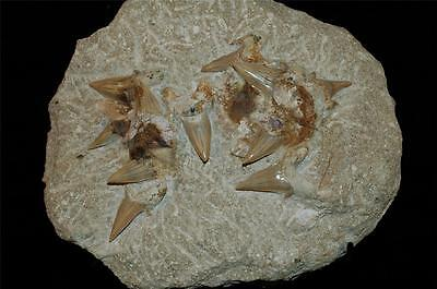 Otodus Obliquus Fossil Shark Tooth On Natural Matrix With Stand -Morocco #ot30 7