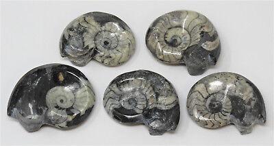 Large Goniatite Ammonite Fossil, 390 Million Year Old Polished Mollusk Specimen 2