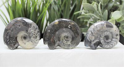 Large Goniatite Ammonite Fossil, 390 Million Year Old Polished Mollusk Specimen 3