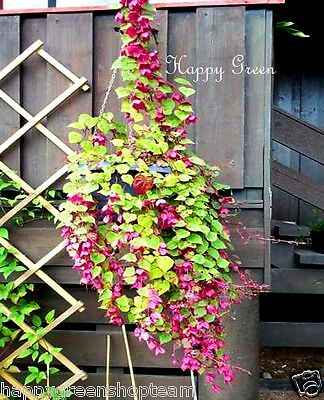 PURPLE BELL VINE Rhodochiton Atrosanguineus  12 SEEDS - Great for hanging basket 5