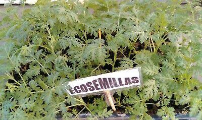 Artemisia Annua, sweet wormwood, Qing hao, más de 5.000 semillas ecologicas 5