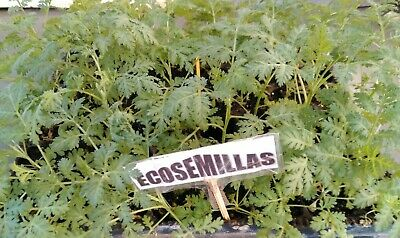 Artemisia Annua, yuyo, altamisa burlasco bamay más de 5.000 semillas ecologicas 5