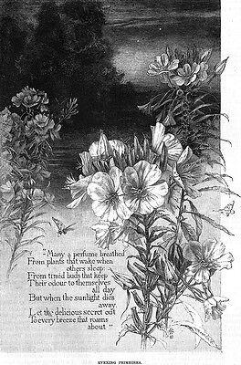 Night Garden A MIDNIGHT RAMBLE William Hamilton Gibson PRIMROSE Nasturtiums 1888 2