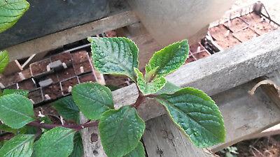 Sleeping Hibiscus Malvaviscus arboreus 2 rootless cuttings