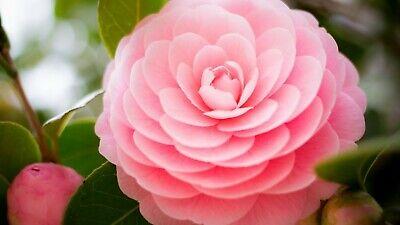 5 Camellia Flower Seeds Rare 20 Kinds Bright Beautiful Decorative Plants Bonsai