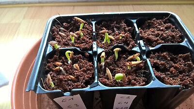20 - 50 Gemischte Samen  Adenium Obesum - Wüstenrose 2