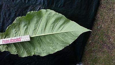 6x1000 Tabaksamen 6 Sorten Virginia, Burley, Orient Tabakpflanzen Tobacco Seeds 9