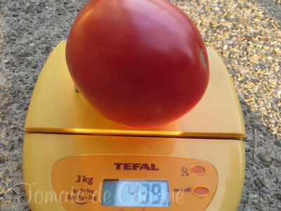 5+ graines de tomate bio Batyanya précoce productive délicieuse heirloom tomato 9