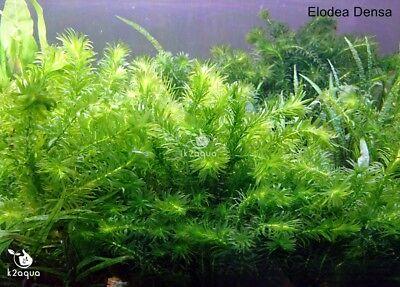 Elodea Densa 5-500 Oxygenating Pond / Tropical Water Aquarium Live Plants Egeria 2
