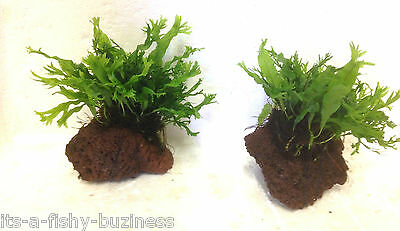 "Microsorum Pteropus ""Windelov"" on Lava Rock Live Fresh Water Aquarium Plant c"