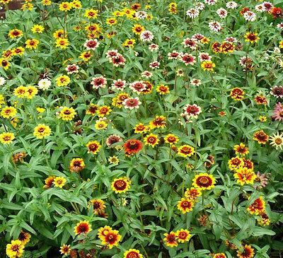 Persian Carpet Mix BOGO 50/% off SALE 100 Seeds Zinnia