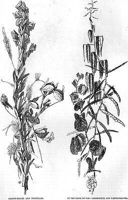 Night Garden A MIDNIGHT RAMBLE William Hamilton Gibson PRIMROSE Nasturtiums 1888 3