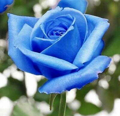 10 graines de Rosier rose NOIR /& BLANC 10x BLACK /& WHITE Rose rosebush seeds