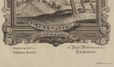 AKAZIE Baum Hülsenfrüchte großer Original Kupferstich um 1730 Botanik Biologie 5