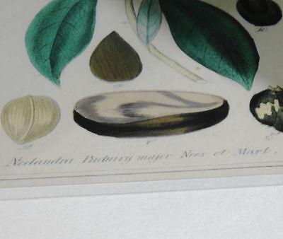 Handkolorierter Kupferstich. Um 1850 Nectandra Puchury major Nees et Mart. 5