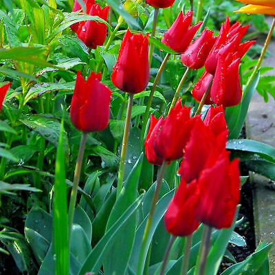 Tulip Mix Red/Yellow/Pink/Purple Bulbs  x 100 Labelled bulbs Flowering Guarantee 3