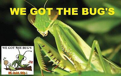 ⭐️ ⭐️ 1 LARGE Fresh Chinese Praying Mantis Egg ➕ Get A Free Hatching Habitat BAG 11